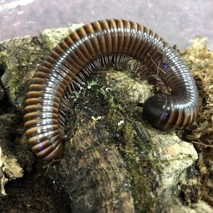 brown millipede