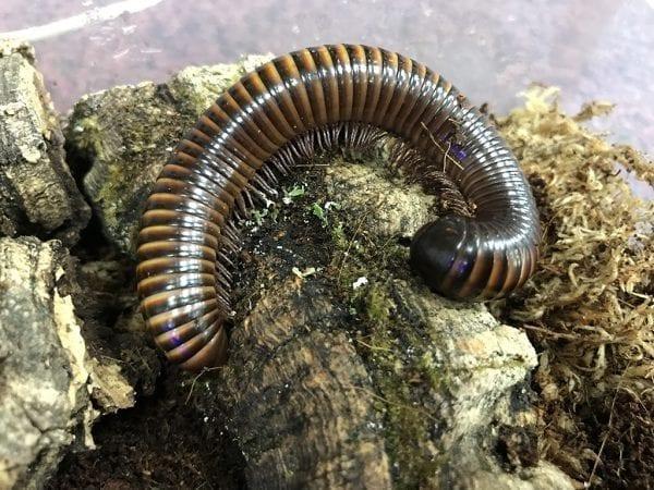 brown millipede
