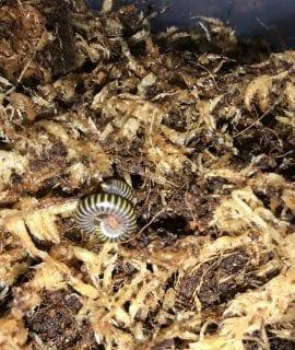 Bumblebee Millipede