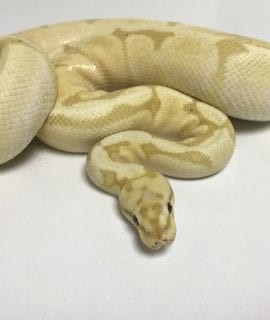 Male Coral Glow Fire Spider Breeder (Female Maker) Royal Python CB