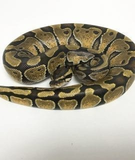 Female Enchi Royal Python CB18