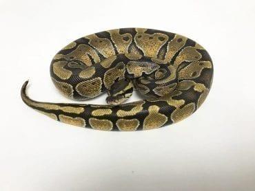 Female Enchi Royal Python CB18