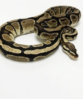 Female Fire 100% het Desert Ghost/Pied Royal Python CB18