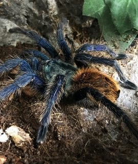 Chromatopelma cyanopubescens (Green Bottle Blue) Tarantula