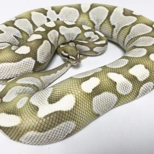 Female Lesser Desert Ghost Royal Python 2.5kg CB