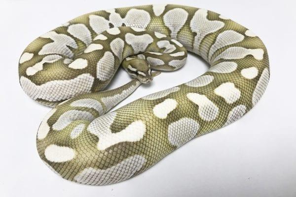 Female Lesser Desert Ghost Royal Python 2.5kg CB