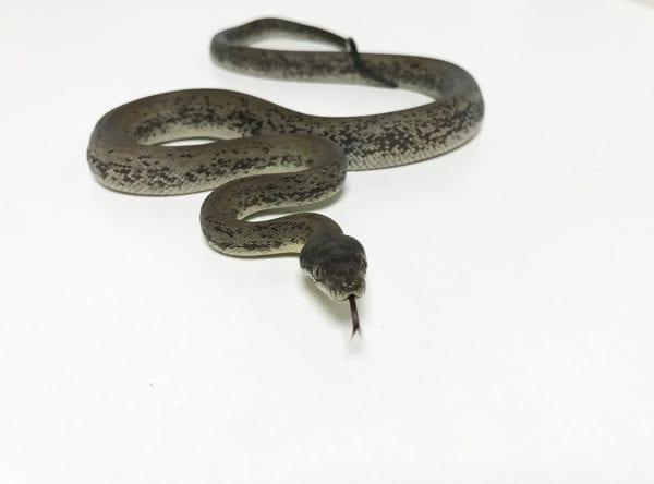 Female Macklotts Python CB