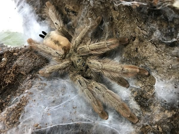 Female Psalmopeous pulcher (Panama Blonde) Tarantula