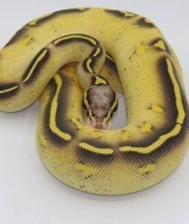 Male Pastave Freeway Royal Python CB18