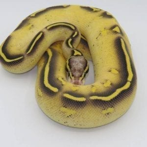 Male Pastave Freeway Royal Python CB18