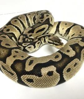 Female Pastel double het Albino/Clown Royal Python Proven Breeder CB