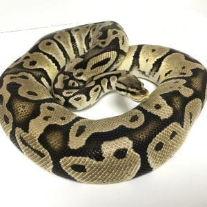 Female Pastel double het Albino/Clown Royal Python Proven Breeder CB