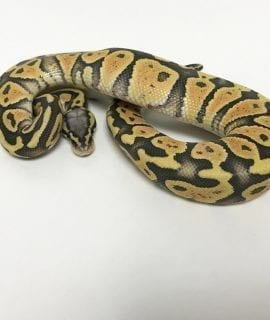 Male Pastel Ghost poss Orange Dream Royal Python CB18