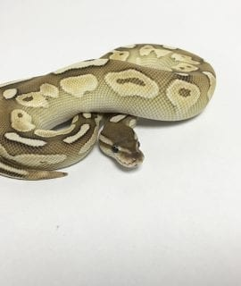 Male Pastel Mojave Cinnamon het Ghost Royal Python CB18
