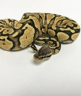 Female Pastel Yellowbelly het Ghost Royal Python CB18