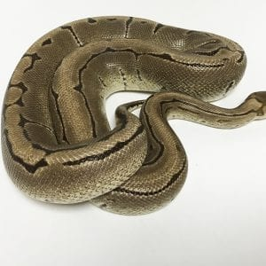 Male Pinstripe het Desert Ghost 2.2kg Breeder Royal Python CB