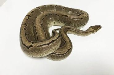 Male Pinstripe het Desert Ghost 2.2kg Breeder Royal Python CB