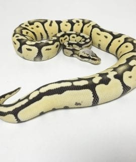 Male Super Pastel Desert Ghost Royal Python CB17