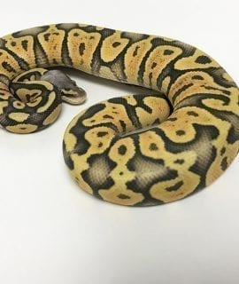 Female Super Pastel Ghost poss Orange Dream Royal Python CB18