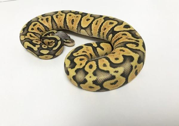 Female Super Pastel Ghost poss Orange Dream Royal Python CB18