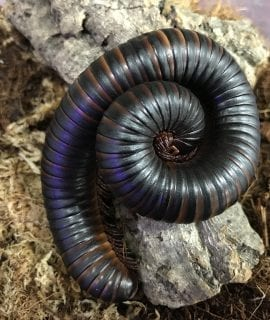 Train Millipede