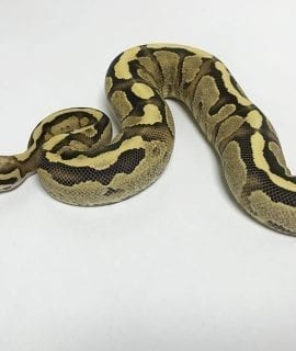 Female Vanilla Cream Royal Python 500g CB17