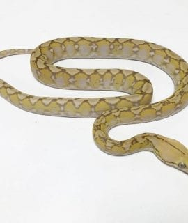 Female Purple Snow Super Dwarf Reticulated Python CB18