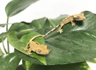 Crested Gecko CB19