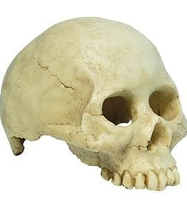 RS Skull Human 13.5 x 9 x 9cm FP950061