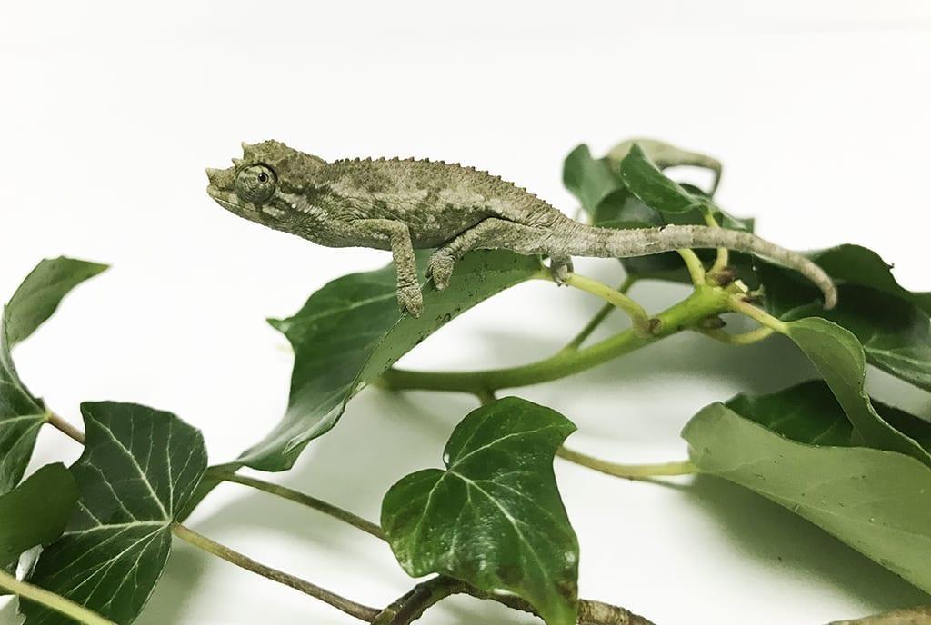 pre-order-now-jacksons-chameleon-cb18