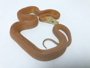 Female Lavender Sunfire Goldenchild Mainland Reticulated Python CB18
