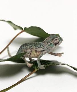 Male Nosy Mitsio x Ambilobe Panther Chameleon CB18