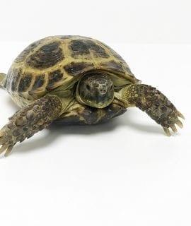 Female Horsefield Tortoise Juvenile CB
