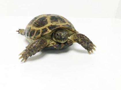 Our Horsefield Tortoise Care Sheet