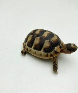Marginated Tortoise CB19