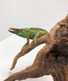 Male Yellow Crested Jacksons Chameleon CF