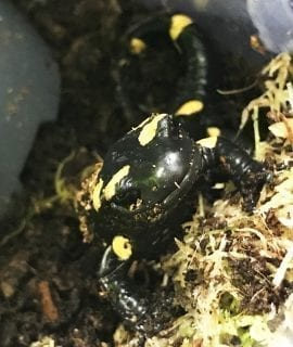 North African Fire Salamander