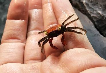 Vampire Crab CB