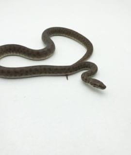 Female Children's Python CB18