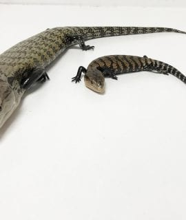 Sorong Blue Tongue Skink CB