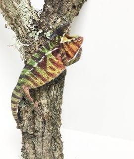 Male Ambilobe Panther Chameleon CB18