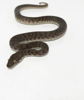 Female Children's Python CB Juvenile