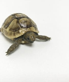 Marginated Tortoise CB18