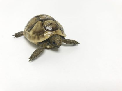 Our Marginated Tortoise Care Sheet