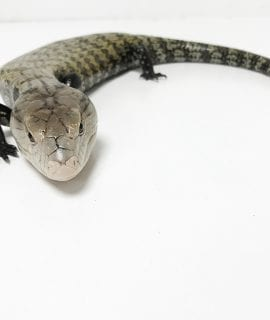 Meruke Blue Tongue Skink