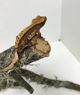 Pinstripe Crested Gecko 8g CB18