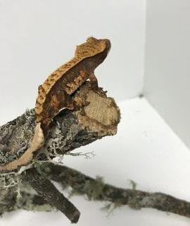Pinstripe Crested Gecko 8g CB18