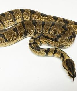 Male Super Enchi Fire Royal Python CB Adult