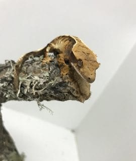 Tri Color Harlequin Crested Gecko 8g CB18