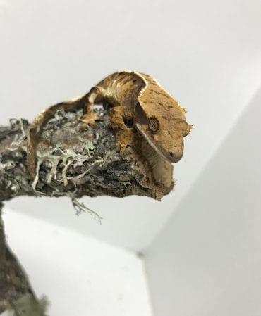 Tri Color Harlequin Crested Gecko 8g CB18